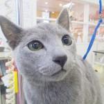 ご新規のロシアンブルーのロンちゃんの猫トリミング ねこ吉♪
