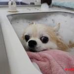 ②チワワの蔵之介ちゃんのジャグジーエステ♪犬猫美容室いぬ吉