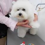 ②ビションフリーゼのコハクちゃんの肉球マッサージ♬犬猫美容室いぬ吉